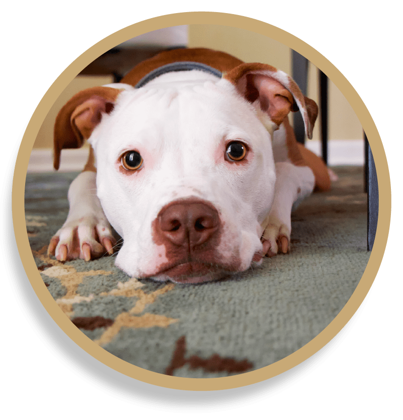 Pet Odor and Stain Removal Vancouver