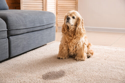 pet urine carpet stain Vancouver